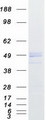 IIP45 / MIIP Protein - Purified recombinant protein MIIP was analyzed by SDS-PAGE gel and Coomassie Blue Staining