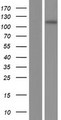 INCENP Protein - Western validation with an anti-DDK antibody * L: Control HEK293 lysate R: Over-expression lysate