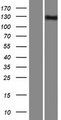 INPP5F Protein - Western validation with an anti-DDK antibody * L: Control HEK293 lysate R: Over-expression lysate
