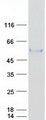 Purified recombinant protein ITFG2 was analyzed by SDS-PAGE gel and Coomassie Blue Staining