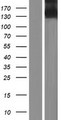 ITGA11 / Integrin Alpha 11 Protein - Western validation with an anti-DDK antibody * L: Control HEK293 lysate R: Over-expression lysate