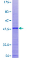 ITGB3BP Protein - 12.5% SDS-PAGE of human ITGB3BP stained with Coomassie Blue