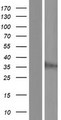 JKAMP Protein - Western validation with an anti-DDK antibody * L: Control HEK293 lysate R: Over-expression lysate