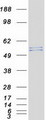JUB / Ajuba Protein - Purified recombinant protein AJUBA was analyzed by SDS-PAGE gel and Coomassie Blue Staining