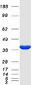 Purified recombinant protein KCNAB2 was analyzed by SDS-PAGE gel and Coomassie Blue Staining