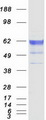 KDELC2 Protein - Purified recombinant protein KDELC2 was analyzed by SDS-PAGE gel and Coomassie Blue Staining
