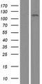KIAA0692 / ANKLE2 Protein - Western validation with an anti-DDK antibody * L: Control HEK293 lysate R: Over-expression lysate