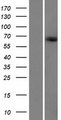 KIAA1328 Protein - Western validation with an anti-DDK antibody * L: Control HEK293 lysate R: Over-expression lysate