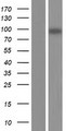 KIF18B Protein - Western validation with an anti-DDK antibody * L: Control HEK293 lysate R: Over-expression lysate