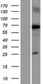 KIF22 / OBP Protein - Western validation with an anti-DDK antibody * L: Control HEK293 lysate R: Over-expression lysate