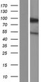 KIFC3 Protein - Western validation with an anti-DDK antibody * L: Control HEK293 lysate R: Over-expression lysate