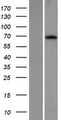 KLHL26 Protein - Western validation with an anti-DDK antibody * L: Control HEK293 lysate R: Over-expression lysate