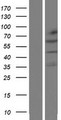 KLHL32 Protein - Western validation with an anti-DDK antibody * L: Control HEK293 lysate R: Over-expression lysate