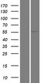 KLHL33 Protein - Western validation with an anti-DDK antibody * L: Control HEK293 lysate R: Over-expression lysate