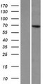 KLHL8 Protein - Western validation with an anti-DDK antibody * L: Control HEK293 lysate R: Over-expression lysate