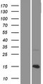 KNCN Protein - Western validation with an anti-DDK antibody * L: Control HEK293 lysate R: Over-expression lysate