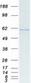 Purified recombinant protein KPNA1 was analyzed by SDS-PAGE gel and Coomassie Blue Staining