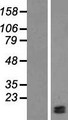 LAMTOR4 Protein - Western validation with an anti-DDK antibody * L: Control HEK293 lysate R: Over-expression lysate