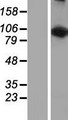 LARS2 / LEURS1 Protein - Western validation with an anti-DDK antibody * L: Control HEK293 lysate R: Over-expression lysate