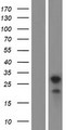 LDLRAD4 / C18orf1 Protein - Western validation with an anti-DDK antibody * L: Control HEK293 lysate R: Over-expression lysate