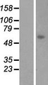 LGSN Protein - Western validation with an anti-DDK antibody * L: Control HEK293 lysate R: Over-expression lysate