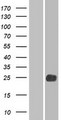LHFPL2 Protein - Western validation with an anti-DDK antibody * L: Control HEK293 lysate R: Over-expression lysate