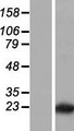 LLPH / C12orf31 Protein - Western validation with an anti-DDK antibody * L: Control HEK293 lysate R: Over-expression lysate
