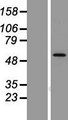 LMBR1L Protein - Western validation with an anti-DDK antibody * L: Control HEK293 lysate R: Over-expression lysate