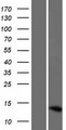 LOC286238 Protein - Western validation with an anti-DDK antibody * L: Control HEK293 lysate R: Over-expression lysate
