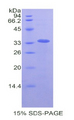 LOXL4 / LOXC Protein - Recombinant Lysyl Oxidase Like Protein 4 By SDS-PAGE