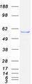 Purified recombinant protein LPCAT1 was analyzed by SDS-PAGE gel and Coomassie Blue Staining