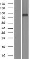 LRFN1 Protein - Western validation with an anti-DDK antibody * L: Control HEK293 lysate R: Over-expression lysate