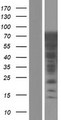 LRRC36 Protein - Western validation with an anti-DDK antibody * L: Control HEK293 lysate R: Over-expression lysate