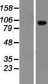 LRRC8C Protein - Western validation with an anti-DDK antibody * L: Control HEK293 lysate R: Over-expression lysate