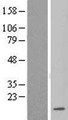 LSM3 Protein - Western validation with an anti-DDK antibody * L: Control HEK293 lysate R: Over-expression lysate