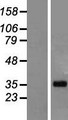 LUZP4 Protein - Western validation with an anti-DDK antibody * L: Control HEK293 lysate R: Over-expression lysate