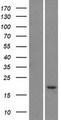 LY6G5C Protein - Western validation with an anti-DDK antibody * L: Control HEK293 lysate R: Over-expression lysate