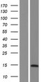 LYRM7 Protein - Western validation with an anti-DDK antibody * L: Control HEK293 lysate R: Over-expression lysate