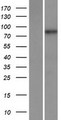 MAMLD1 Protein - Western validation with an anti-DDK antibody * L: Control HEK293 lysate R: Over-expression lysate