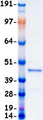 MAPK1 / ERK2 Protein - Purified recombinant protein MAPK1 was analyzed by SDS-PAGE gel and Coomassie Blue Staining