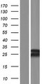MBD3L3 Protein - Western validation with an anti-DDK antibody * L: Control HEK293 lysate R: Over-expression lysate