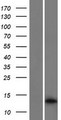 MEF2BNB Protein - Western validation with an anti-DDK antibody * L: Control HEK293 lysate R: Over-expression lysate