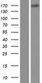 MEGF6 Protein - Western validation with an anti-DDK antibody * L: Control HEK293 lysate R: Over-expression lysate