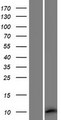 MEIG1 Protein - Western validation with an anti-DDK antibody * L: Control HEK293 lysate R: Over-expression lysate