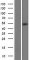 METT11D1 Protein - Western validation with an anti-DDK antibody * L: Control HEK293 lysate R: Over-expression lysate