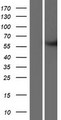 METTL2B Protein - Western validation with an anti-DDK antibody * L: Control HEK293 lysate R: Over-expression lysate
