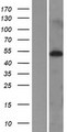 MIDN Protein - Western validation with an anti-DDK antibody * L: Control HEK293 lysate R: Over-expression lysate