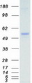 Purified recombinant protein MKNK1 was analyzed by SDS-PAGE gel and Coomassie Blue Staining