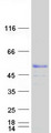 MKRN2 Protein - Purified recombinant protein MKRN2 was analyzed by SDS-PAGE gel and Coomassie Blue Staining