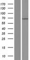 MKS1 Protein - Western validation with an anti-DDK antibody * L: Control HEK293 lysate R: Over-expression lysate